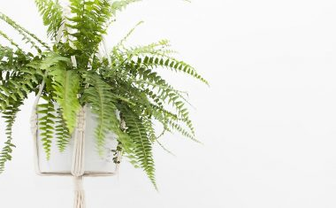 Top tips to achieve the best looking Boston Fern