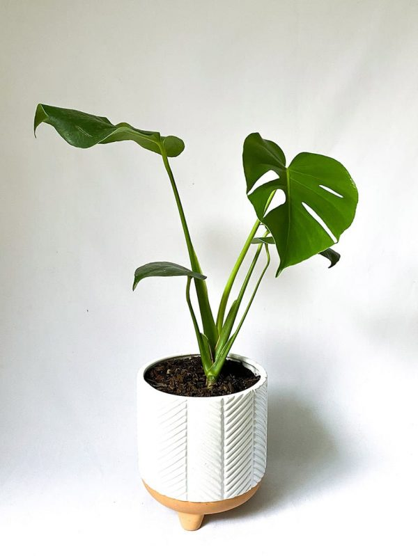 Large Monstera in Zari White Planter
