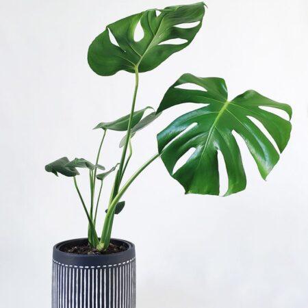 Monstera Deliciosa in Charcoal Planter
