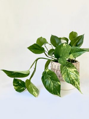 Devils Ivy in Daya Planter