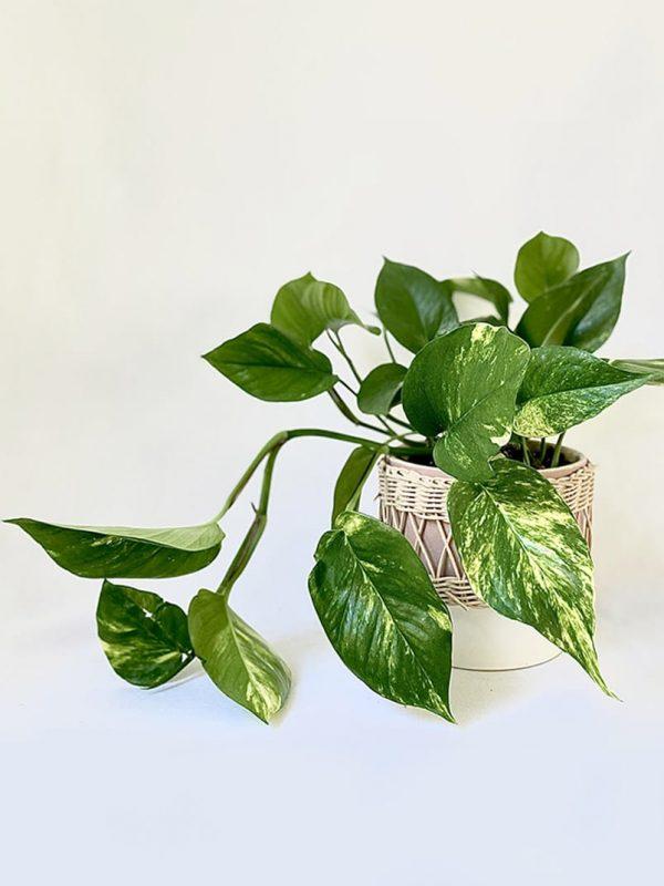 Devils Ivy in Daya Planter