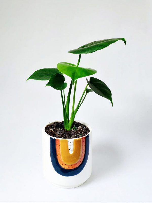 Little Monstera in Woodstock Planter
