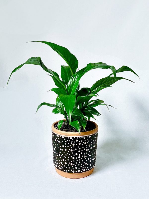 Small Peace Lily