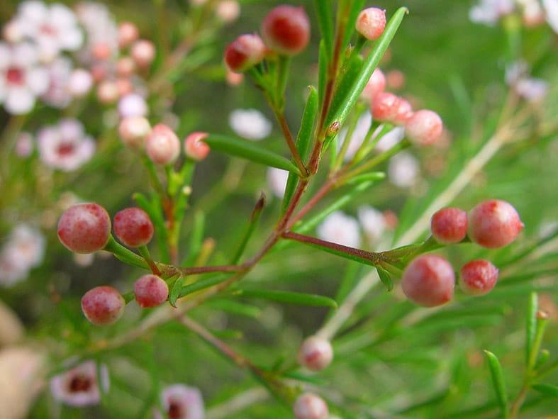 Geraldton Wax Buds