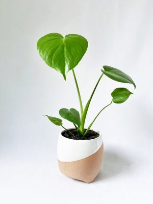 Little Monstera in Luna Planter