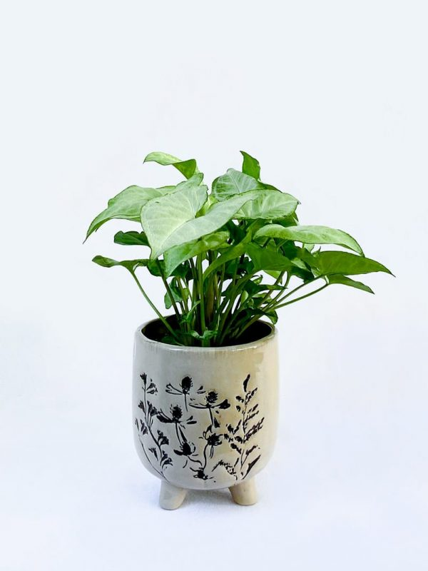 Arrowhead Plant in Aubrey Planter