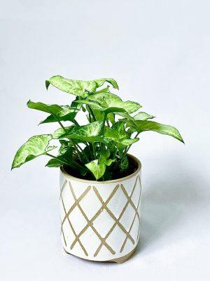 Small Arrowhead Plant