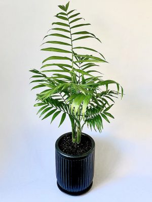 Large Parlour Palm in Black Planter with Saucer