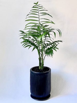 Large Parlour Palm in Black Ceramic Planter with Saucer