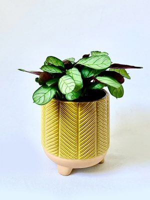 Never Never Plant Ctenanthe Amagris in Mustard Zari Planter by Pot and Posy