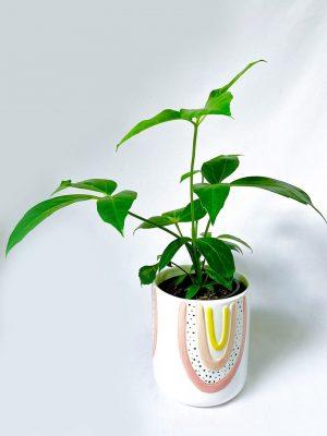 Umbrella Tree - Schefflera Amate
