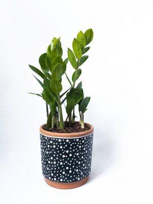 Zanzibar Gem - Zamioculcas zamiifolia